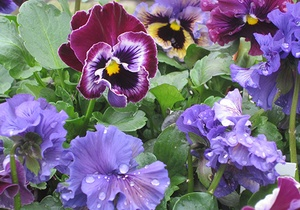 Pink and purple pansies