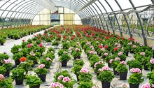 cultivation of geraniums in the nursery