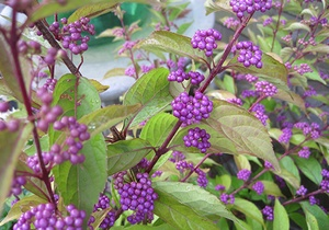 Purple beautyberry plant