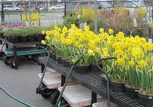 Daffodils in containers
